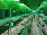 Plataforma de cultivo de cánnabis medicinal